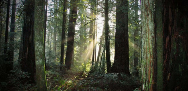 Redwood_Morning_by_FreeSpiritFotography